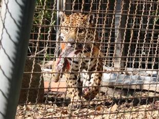 Barelona-Zoo-Jaguar_0000s_0000_Layer 3