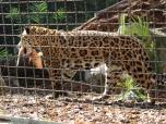 Barelona-Zoo-Jaguar_0000s_0001_Layer 2