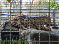 Barelona-Zoo-Jaguar_0000s_0002_IMG_5505