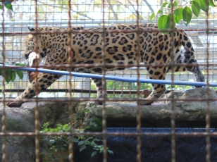 Barelona-Zoo-Jaguar_0000s_0003_IMG_5511