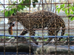 Barelona-Zoo-Jaguar_0000s_0004_Layer 1